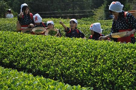 茶摘み体験03