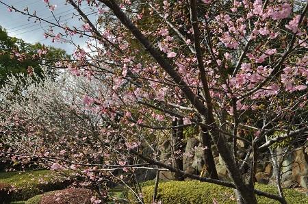 河津桜と梅